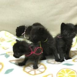 ママのいない黒猫赤ちゃん