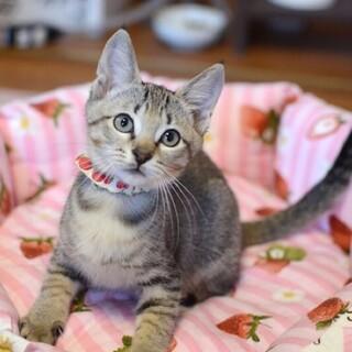 あたちは美猫【風華】