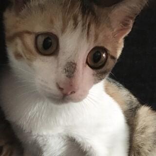 子猫 3ヶ月 三毛猫 おてんばちゃん