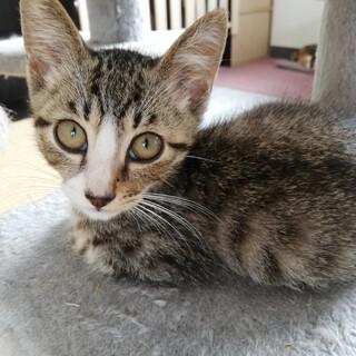 【保護猫】ジェミニー♂子猫・キジシロ