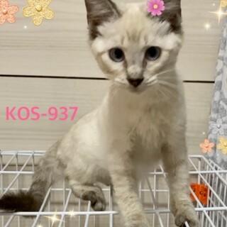 KOS-937 綺麗なシャム系