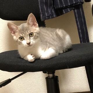 サバトラの子猫♀の里親募集します。