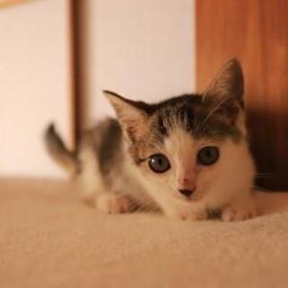 やまちゃん♡大きな瞳短い手足かわいいキジ白