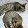 キジトラ兄妹、4ヶ月ほどです。 サムネイル4