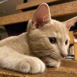 茶トラですがクリーム色の子猫の里親さんを募集中!