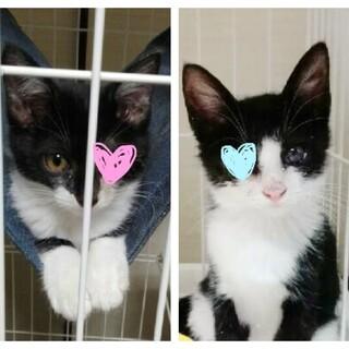 (緊急)方目の治療中保護子猫二匹。人にベタ慣れ。