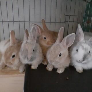 ミニウサギ。5兄弟。1羽ずつでお願いします。