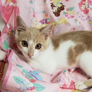 ミルクティ色の子猫