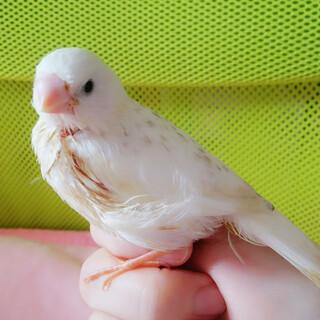 手乗り白キンカチョウ雛1羽