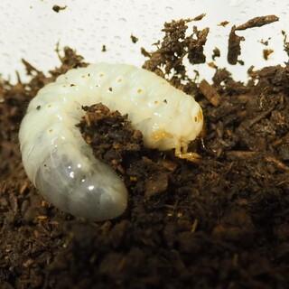 国産カブトムシ幼虫(数応相談)