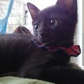 赤い首輪がお似合い黒い子猫の〝おとちゃん〟です♪