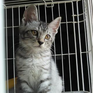 グレーの毛並みが綺麗な子猫です
