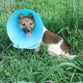 不妊手術済・小ぶり予想のメス子犬