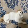 茶白の子猫のお家探し