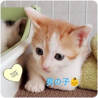 【他サイトにて決定】★おっとり可愛い茶白ちゃん★