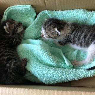 赤ちゃん猫 2匹(きょうだい)