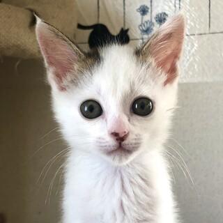 超cuteな顔で人見知りなし白猫男子★ふく