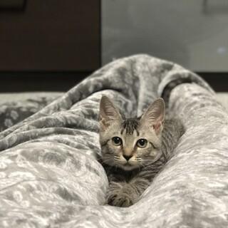 サバトラの♂の子猫です