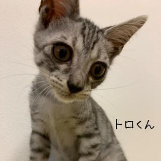 【8/16譲渡会】甘えん坊のサバトラ・トロくん