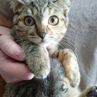 キジトラの子猫スズメちゃん