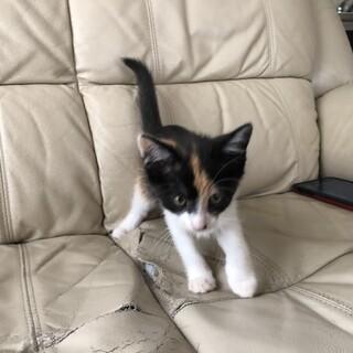 受け取りに来られる方限定。可愛い子猫です。