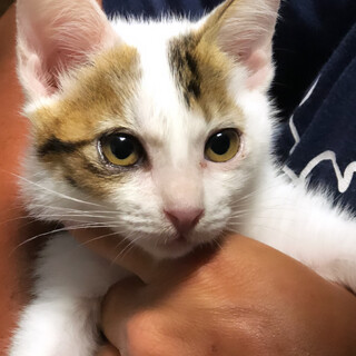 キジ白の♀の子猫