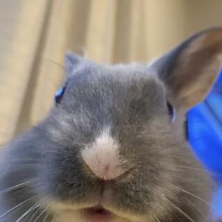 ミニウサギ メス 生後7ヶ月