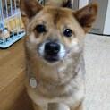 柴犬♀桜 推定4歳
