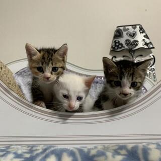 生後1ヶ月位の元気な兄弟猫里親募集