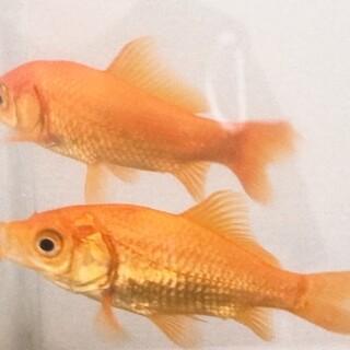 金魚 小赤 大きめ