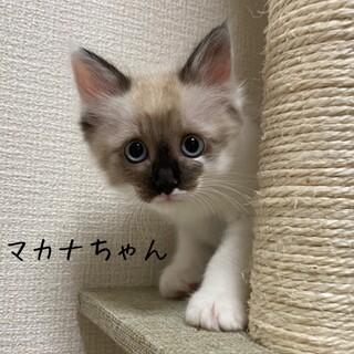 【8/16譲渡会】甘えん坊で可愛い・マカナちゃん
