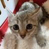 美猫姉妹♡薄めキジ♀恭子さん☆推定3ヶ月齢