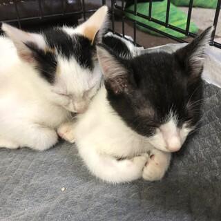 生後2~3ヶ月の兄妹猫です