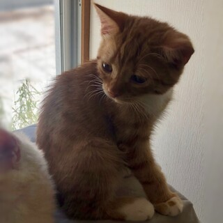 【トライアル中】猫がすきな猫★スコ立ち耳♂