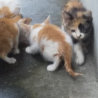子猫3匹います。(きなこ色)