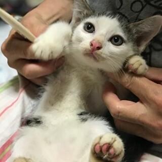2ヶ月 前髪ぱっつん白黒猫 アトム君