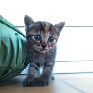 つぶらな瞳のキジトラちゃん!
