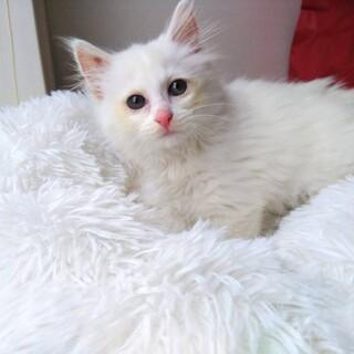 白い天使 可愛い 長毛 白子猫