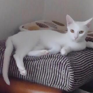 真っ白美猫のはるなちゃん♀10ヶ月