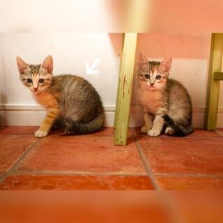 三毛猫。女の子。生後1ヶ月半。