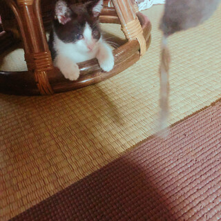 子猫 オス3ヶ月未満 募集してます!