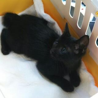 生後2ヶ月 人慣れバツグン黒猫クミちゃん