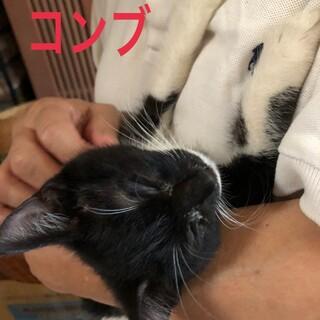 甘えん坊なシロクロ子猫コンブちゃん
