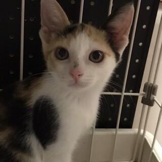 生後3カ月ぐらいの可愛いミケ猫ちゃんです