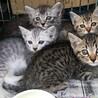 キジトラ&サバトラ&ふわふわグレーの4兄弟