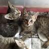 キジトラの3姉妹