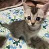 サビ猫ちゃん♀ 生後1ヶ月