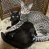 キジトラの男の子・黒猫の女の子、兄妹里親募集中
