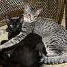 キジトラの男の子・黒猫の女の子、兄妹里親募集中 サムネイル2