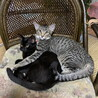 キジトラの男の子・黒猫の女の子、兄妹里親募集中 サムネイル3